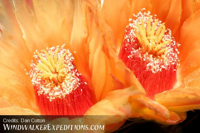 Barrel Cactus Flowers in August