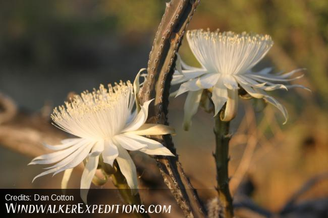 Night Blooming Cereus cactus flower's in late June or early July