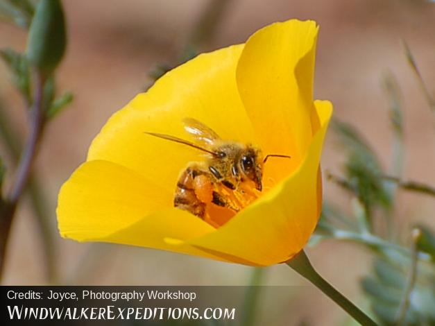 Mexican Poppy and Africanized Bee, Photography Workshop