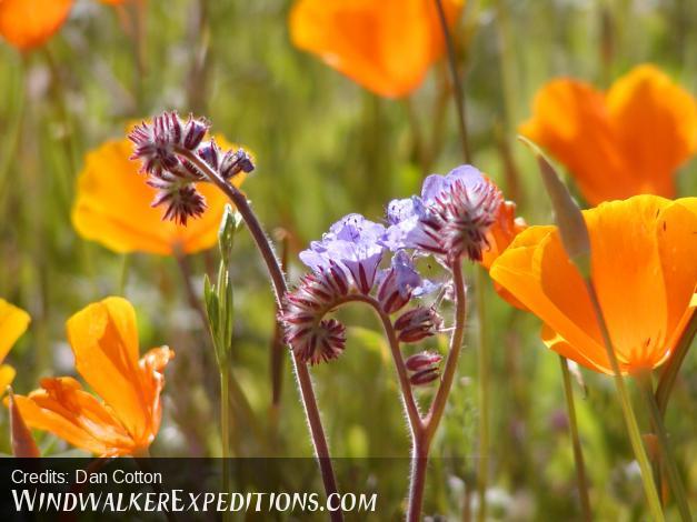 Arizona spring wildflowers Blue Phacelia and Mexican Poppy