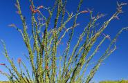 Flowering Ocotillo, Photography Workshop