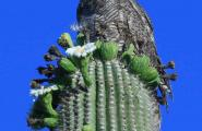 Great Horned Owl perch hunting on ripening Saguaro Fruits