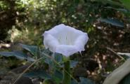 Look but don't eat Sacred Datura