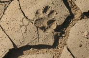 Bobcat Track