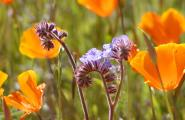 Arizona spring wildflowers Blue Phacelia and Mexican Poppy