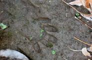 Racoon track