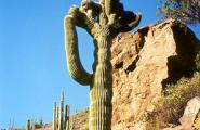 Crested Saguaro