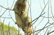 Squirrel on Cat Claw plant