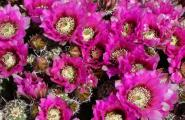 Hedgehog Cactus flowers in mid April