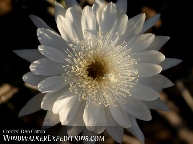Night Blooming Cereus plants flower in late June or early July