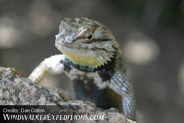 Purple Backed Spiney Lizard