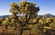 Chain Fruit Cholla With Teddy Bear Chollas, Photography Workshp, Jeep Tours